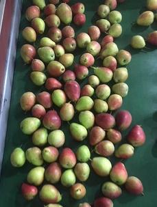 Cheeky® pear harvest progresses well